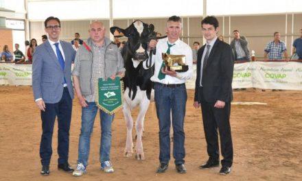 La vaca 'Atalayuela Kampman Reinalda', presentada por la ganadería El Cruce de Añora, se impone en el I Concurso Morfológico Regional de Raza Frisona