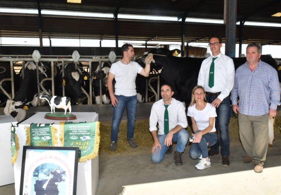 Más de sesenta ejemplares de once ganaderías participarán en el concurso de vacuno de leche raza frisona en la Feria Agroganadera