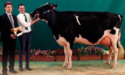 Participa activamente en el II Concurso Regional de Andalucía de Raza Frisona